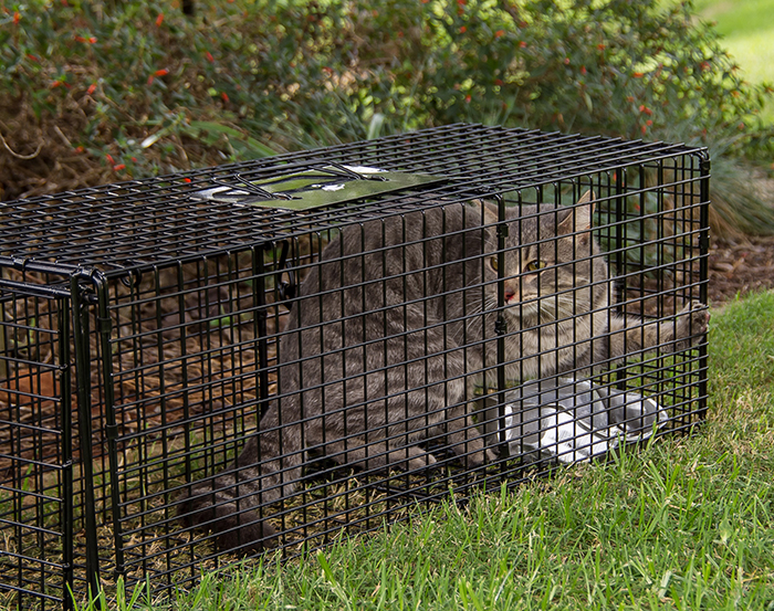 Trapped feral